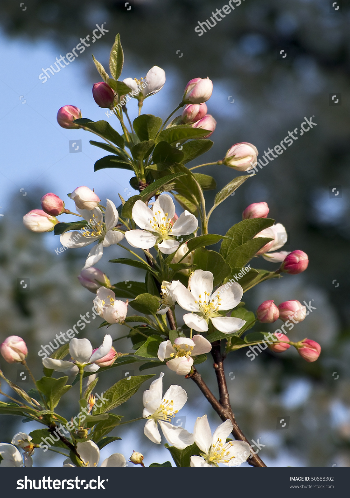 Pink Crab Apple Tree Buds Open Stock Photo Edit Now 50888302