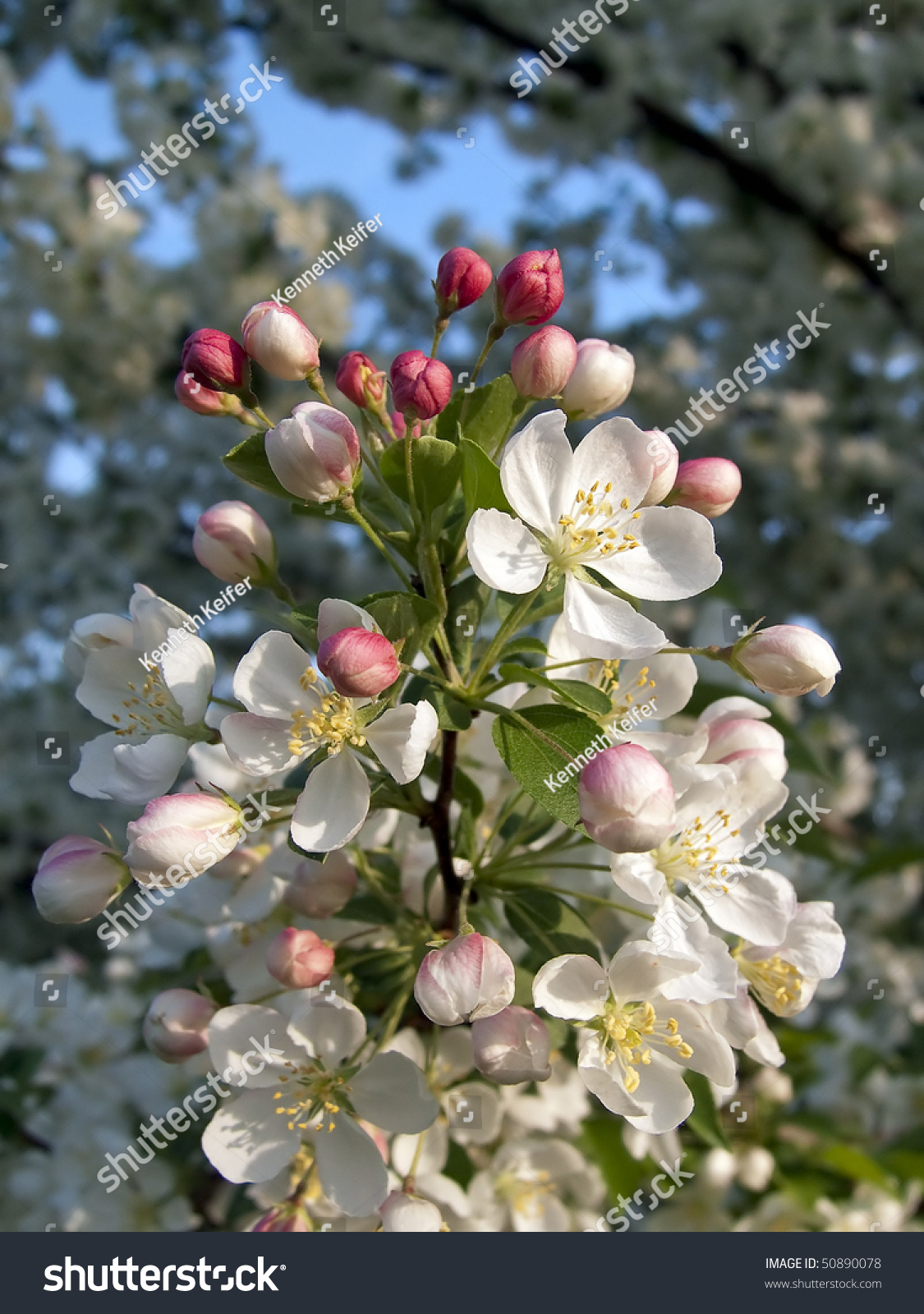 Deep Pink Crab Apple Tree Flower Stock Photo Edit Now 50890078