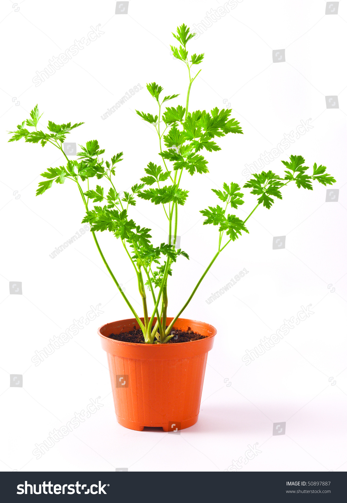 Parsley plant in a pot isolated on white background stock photo 50897887 shutterstock - Aromatic herbs pots multiple benefits ...