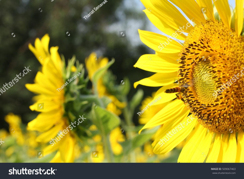 Beautiful sunflowers bee blooming sunflower morning stock photo beautiful sunflowers with bee blooming sunflower in the morning fresh flower waits for the izmirmasajfo