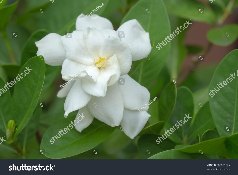 Cape jasmine flower stock photo edit now 509081575 shutterstock cape jasmine flower izmirmasajfo
