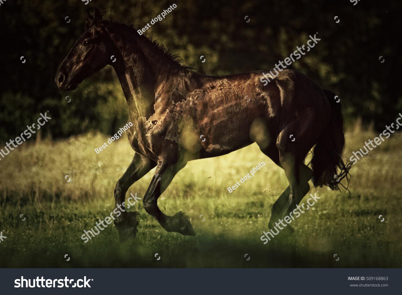 Beautiful Black Friesian Wild Horse Stallion Animals Wildlife Stock Image 509168863
