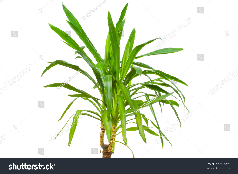 Yucca Plant Isolated On White Background Stock Photo 50919832 ...