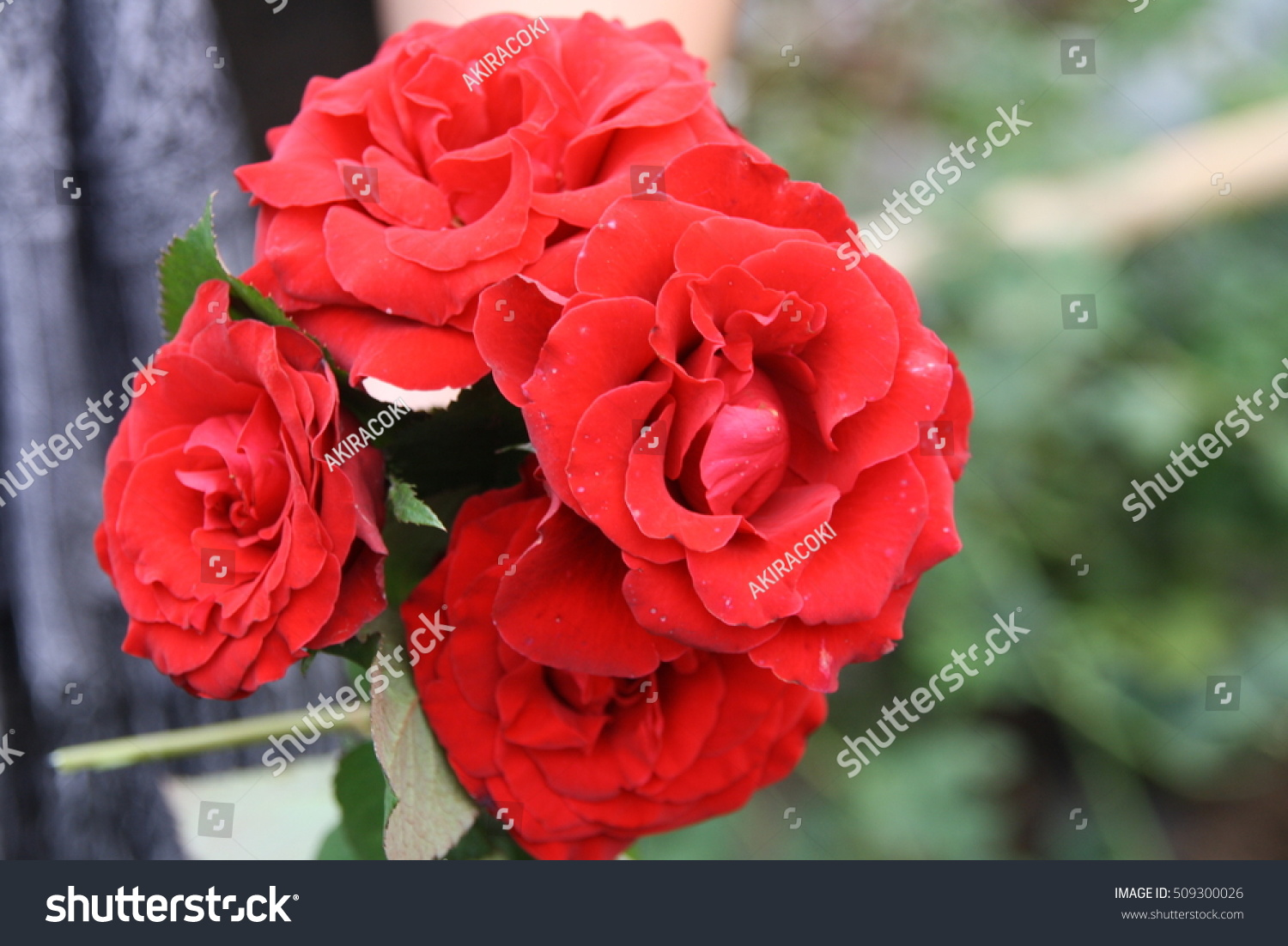 Red Bright Beautiful Flowers Roses Thailand Stock Photo Edit Now