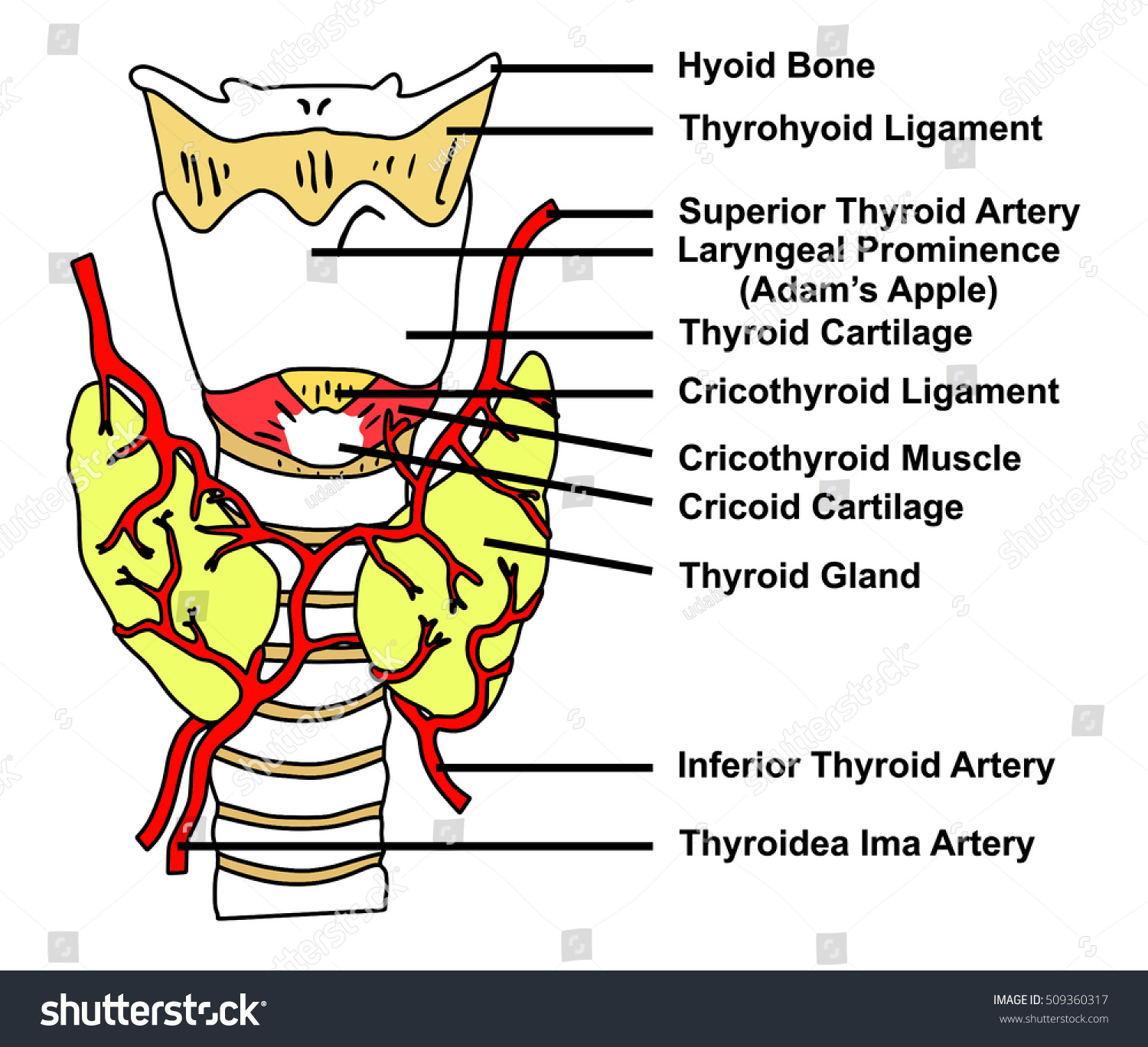 Thyroid Gland Anatomical Structure Arteries Supply Stockillustration