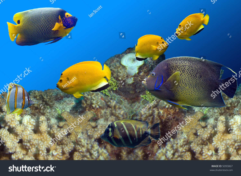 Regal Spotted Angelfish (Pomacanthus xanthometapon), Beaked Coralfish ...