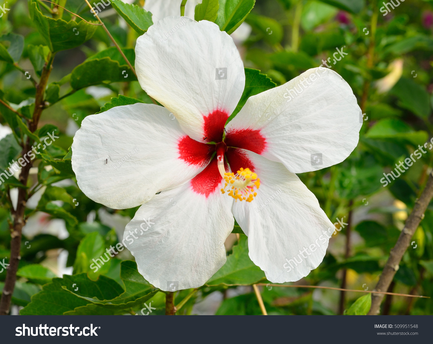 White Chinese Hibiscus Flower Or China Stock Photo Edit Now