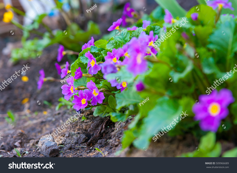 Primula Colorful Spring Flowers The Iris Flower Ez Canvas
