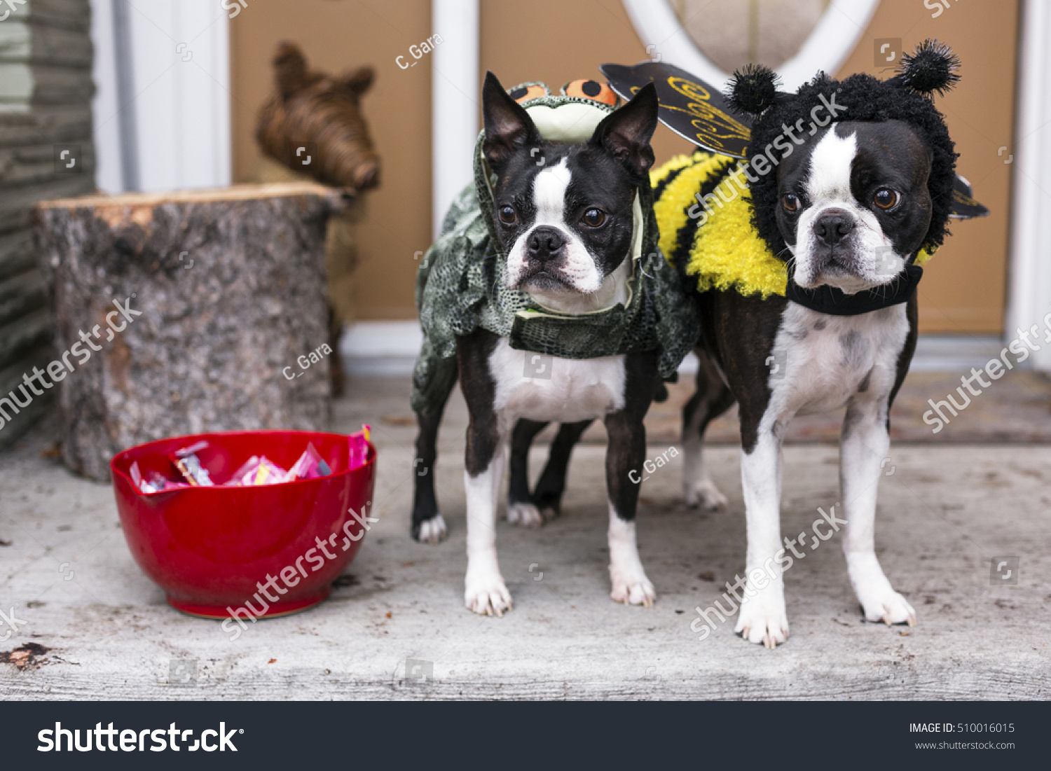 two boston terrier dogs halloween costumes stock photo (edit now