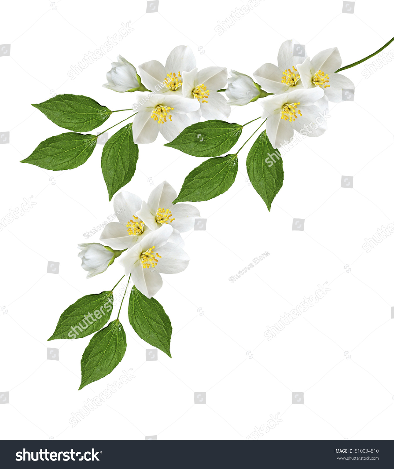 Branch Jasmine Flowers Isolated On White Stock Photo Image
