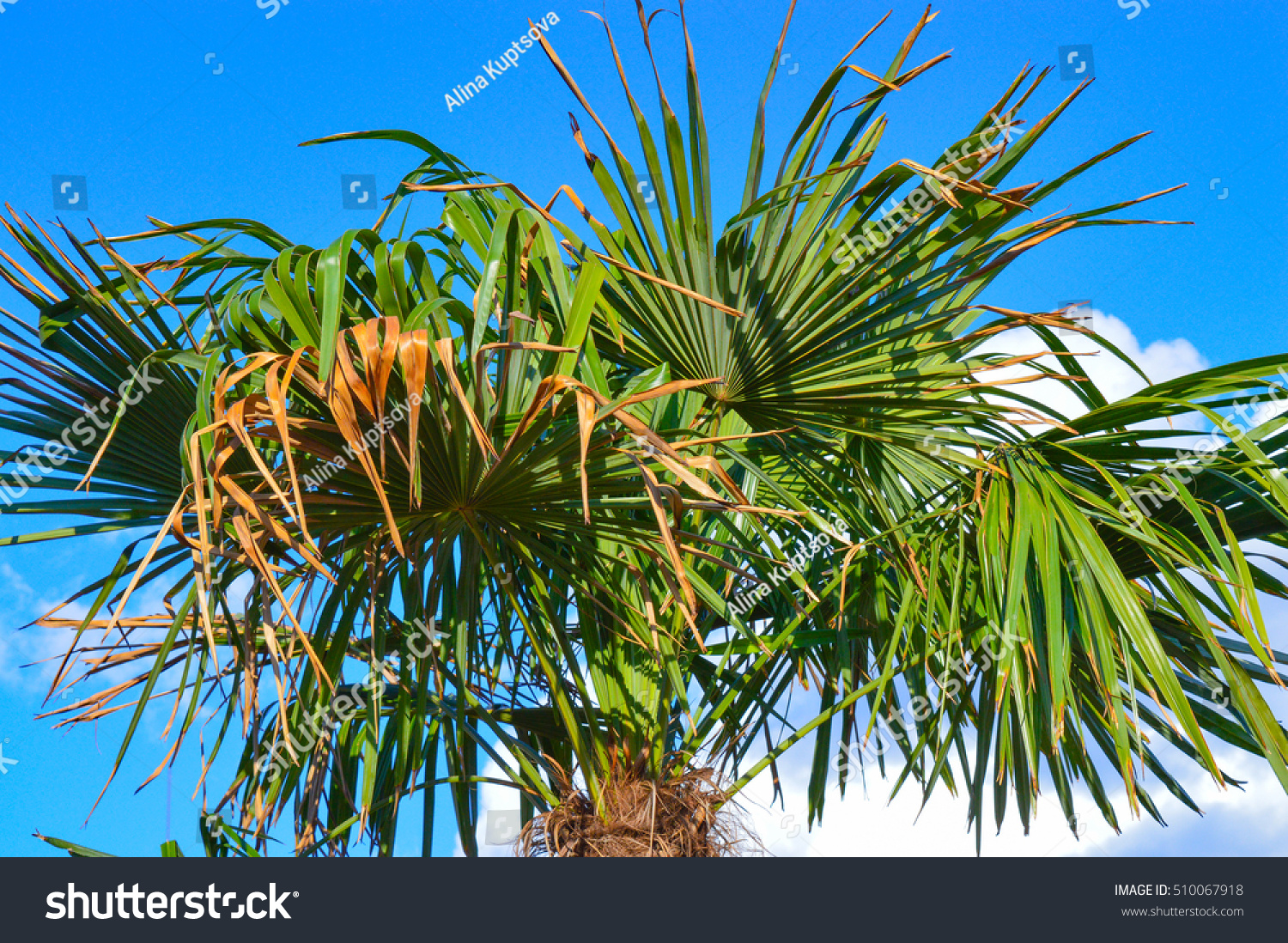 leaves phoenix palm tree phoenix canariensis stock photo. Black Bedroom Furniture Sets. Home Design Ideas