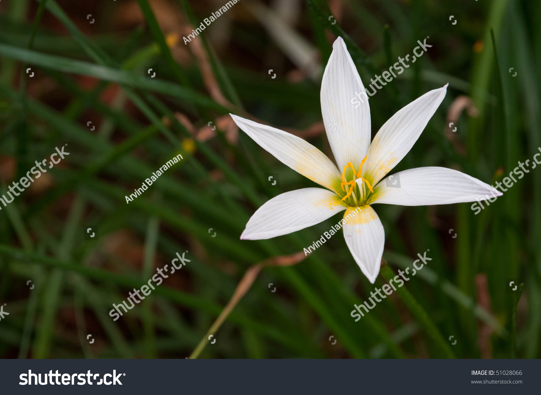 White Rain Lily Flower On Sunny Stock Photo Royalty Free 51028066