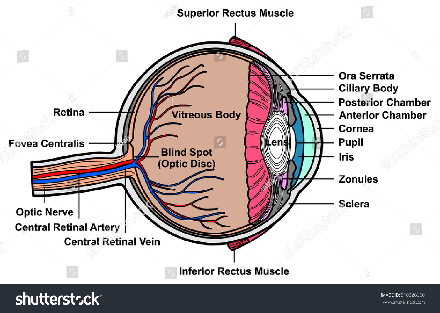Vector Human Eye Cross Section Anatomy Stock Vector 510326650 ...