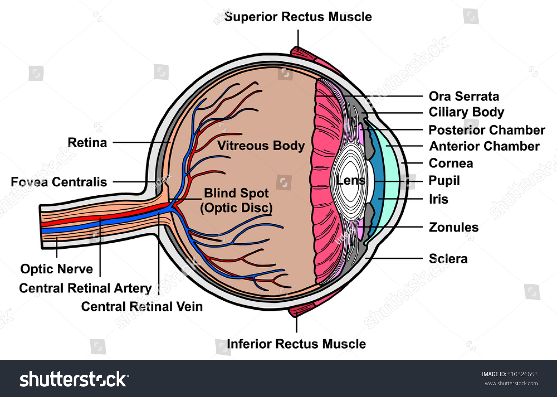 Royalty Free Stock Illustration of Human Eye Cross Section Anatomy ...