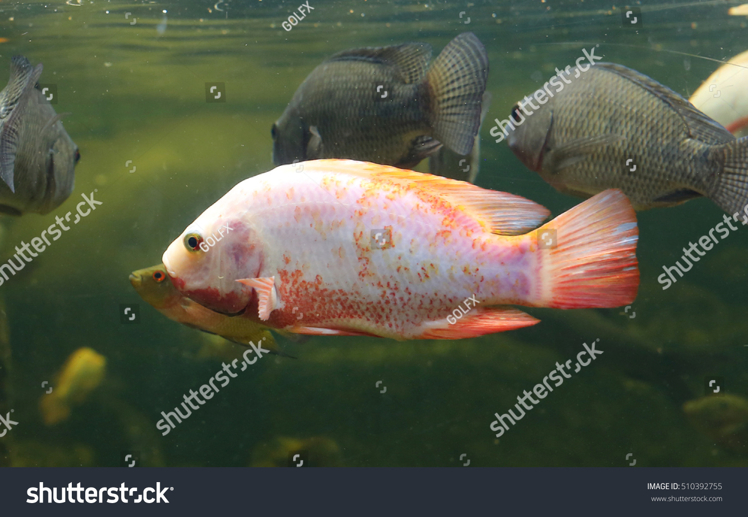 Red Tilapia Fish Swimming In A Pond Stock Photo 510392755