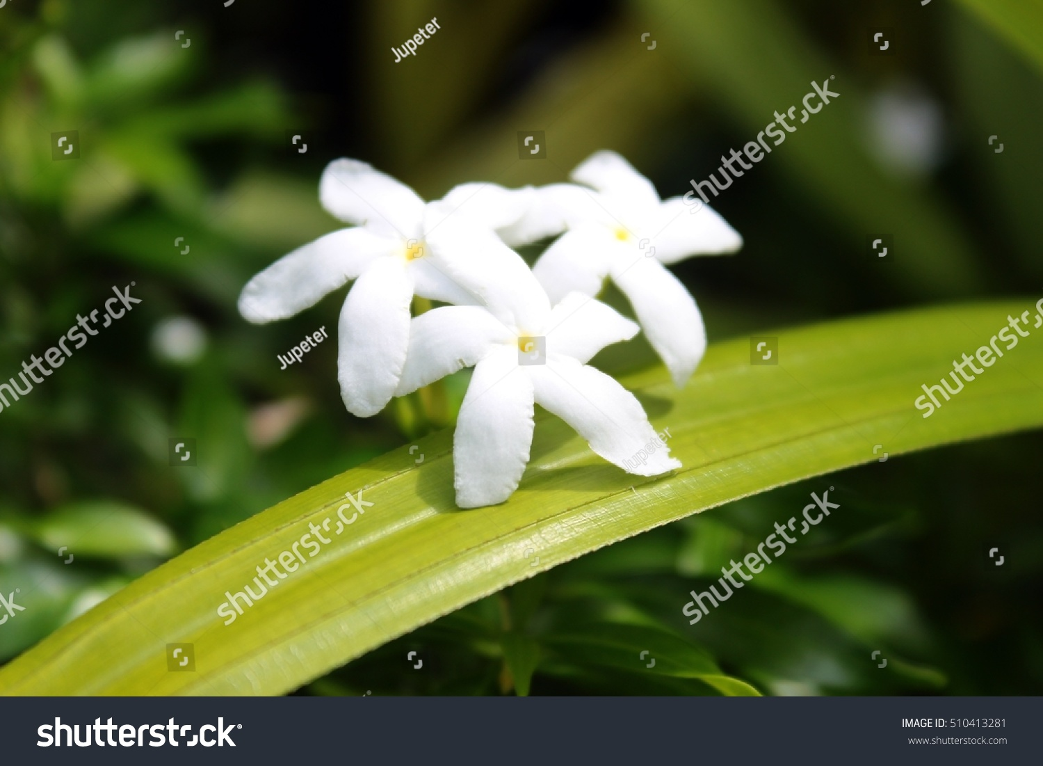 Royalty Free Thai Named Puttaraksa Canna Flower 510413281 Stock