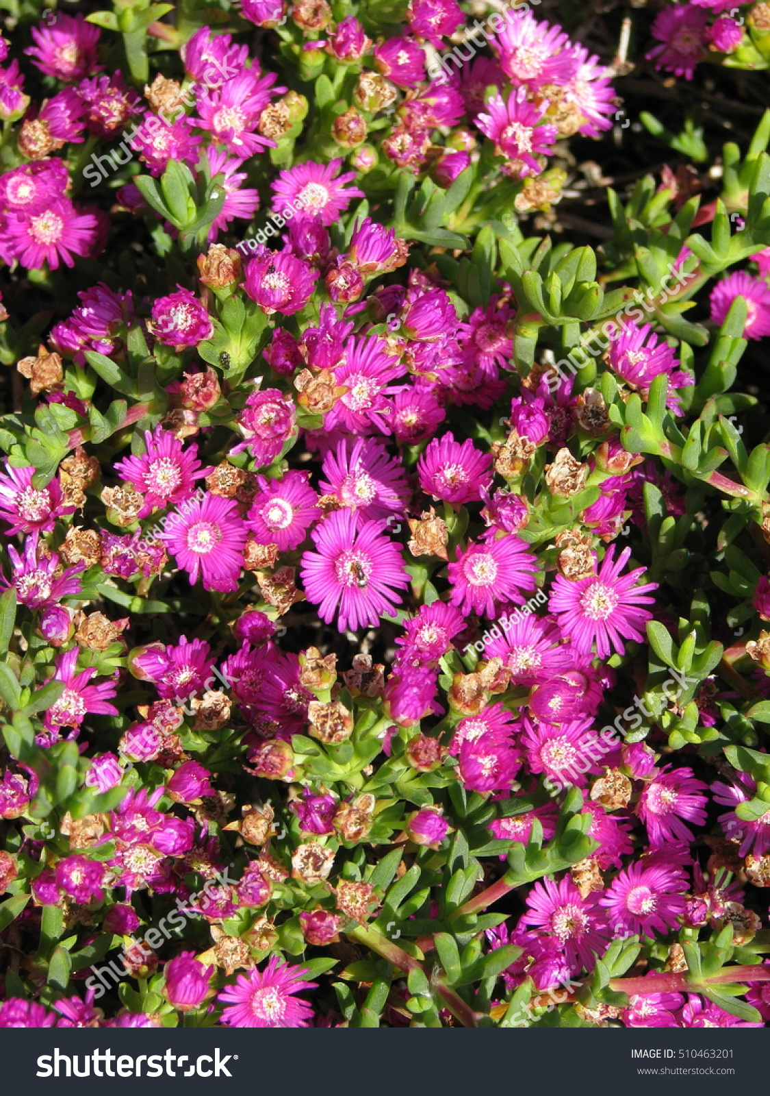 Pink daisylike flowers on succulent plant stock photo edit now pink daisy like flowers on a succulent plant izmirmasajfo