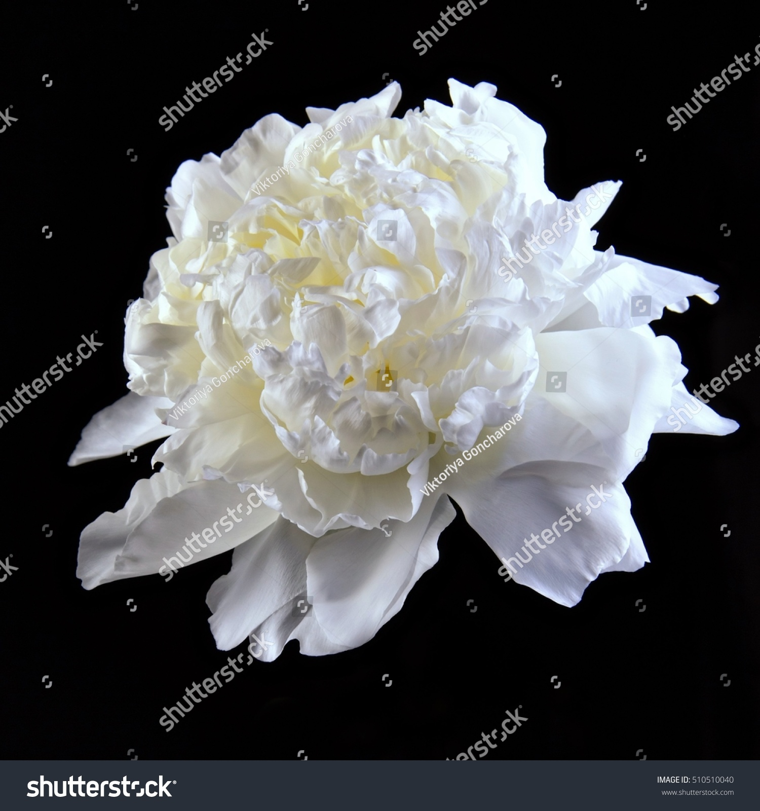 White Peony Flower On A Black Background Isolated Lights Inside