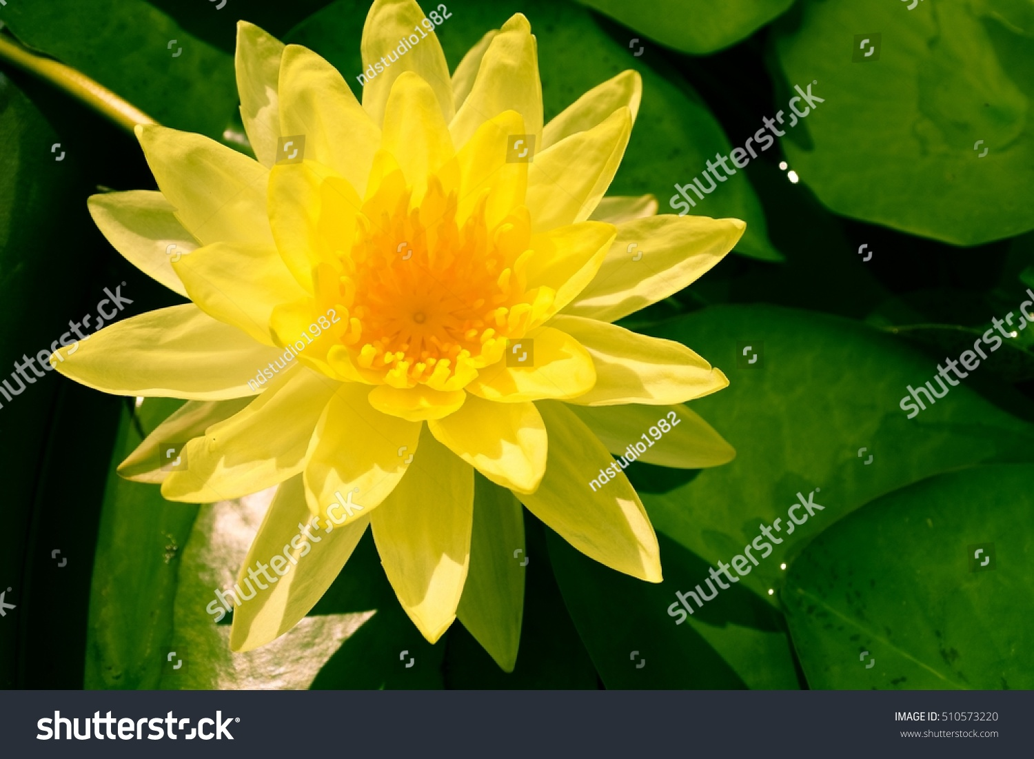 Yellow Lotus Flower With Green Leaves Backgrounds Ez Canvas