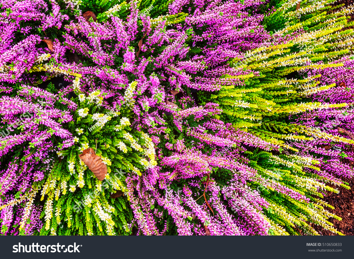 Flowerbed Pink White Heather Flowers Autumn Stock Photo Edit Now