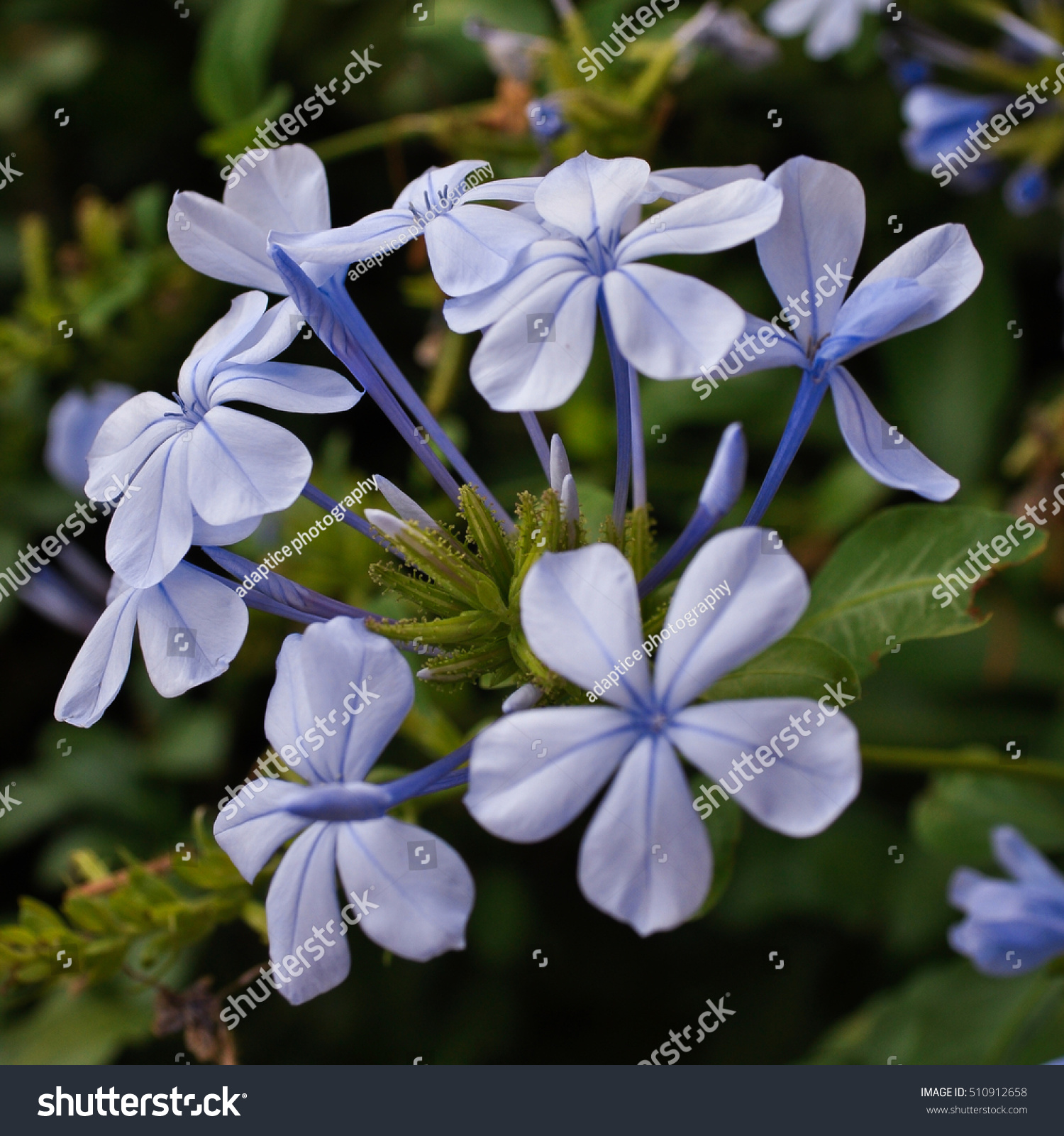 Closeup Small Branch Blue Jasmine Flowers Stock Photo Edit Now