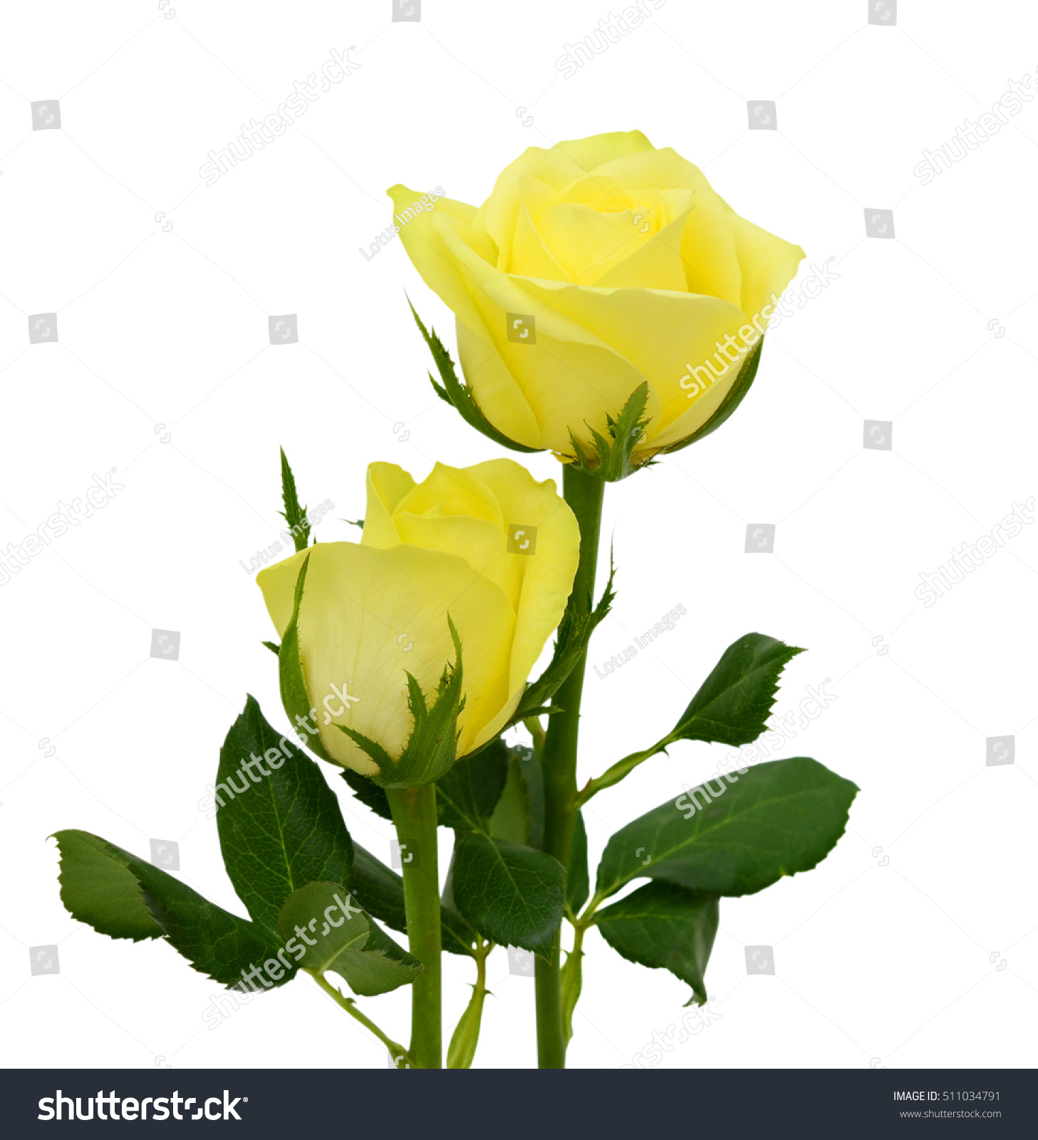 beautiful yellow rose flowers isolated on stock photo