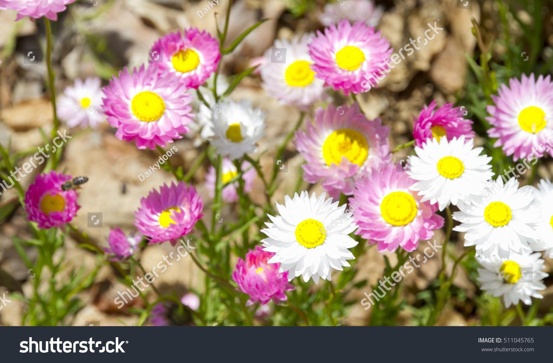 Everlasting Daisies Strawflowers Rhodanthe Chlorocephala Native