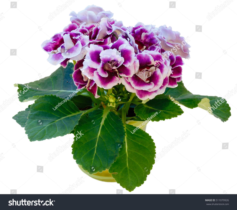 Gloxinia Plant Violetwhite Flowers Flowerpot Isolated Stock Photo