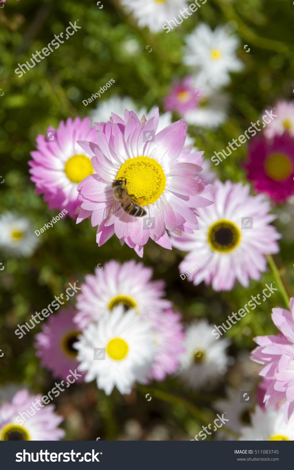 The Wildflowers Of Western Australia Rhodanthe Chlorocephala Or