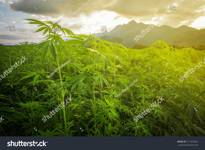 Гора марихуаны семян конопли почта