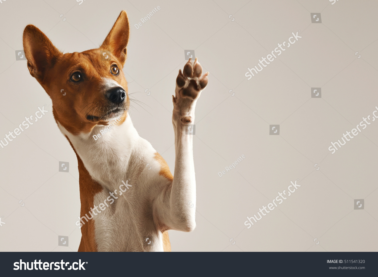 Adorable brown and white basenji dog smiling and giving a high five isolated on white #511541320