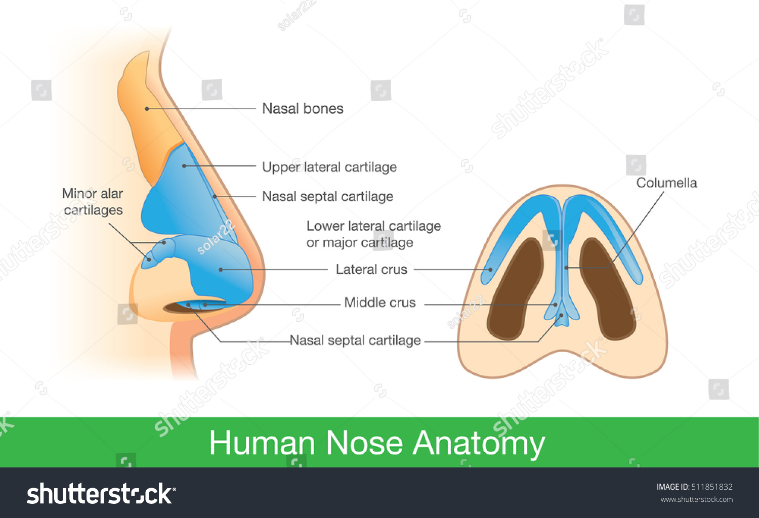Anatomy Human Nose Side View Below Vector de stock (libre de ...