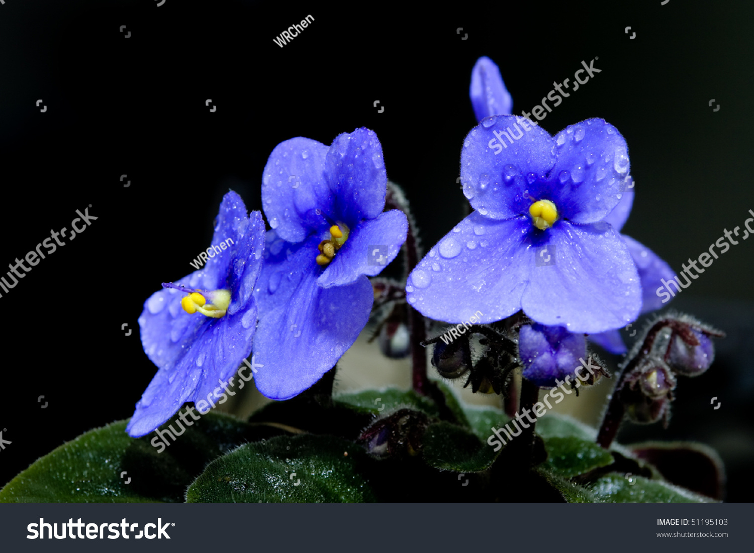 Beautiful African Violet Saintpaulia Ionantha Which Stock Photo