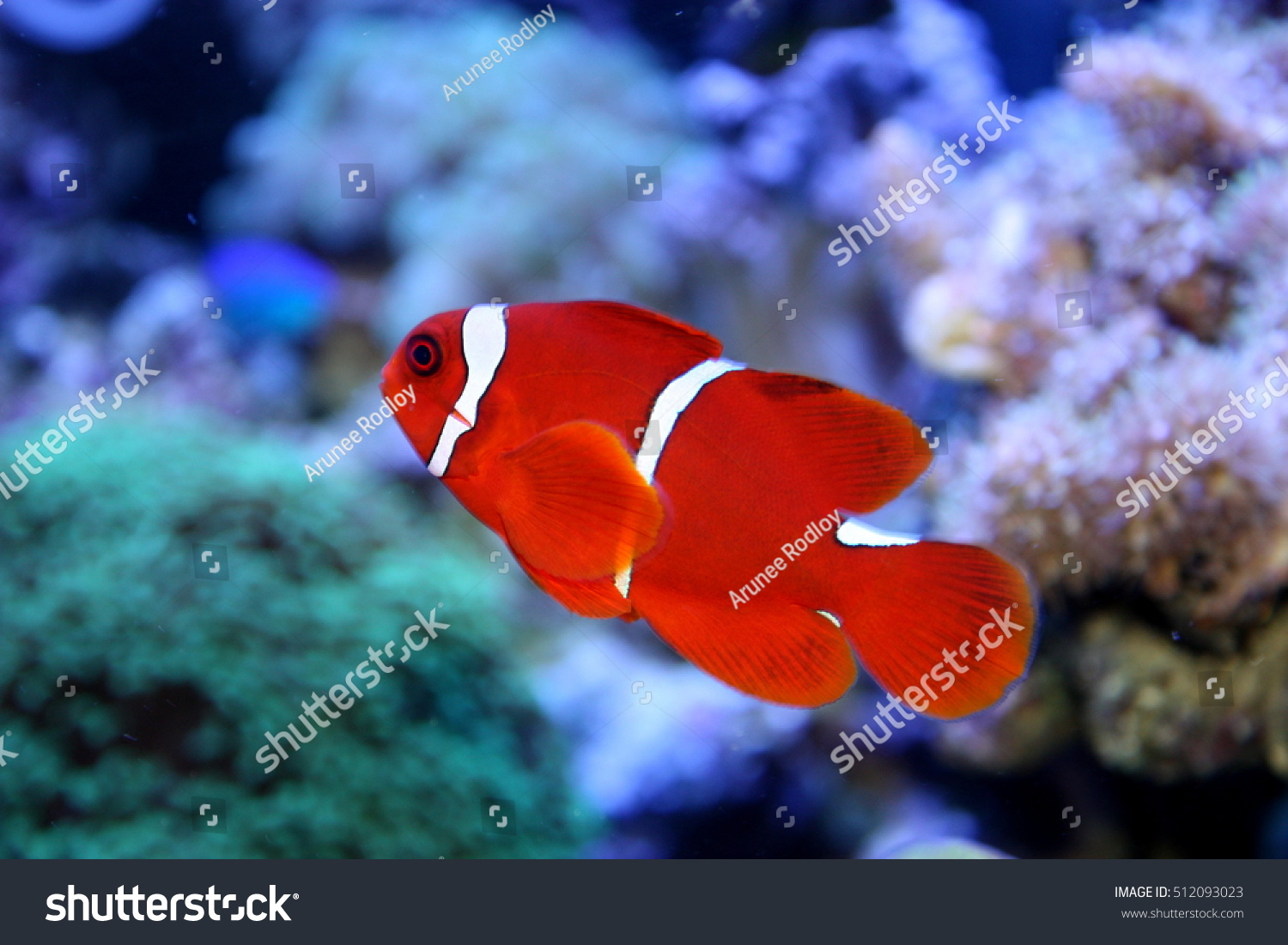 Red White Anemone Fish Live Coral Stock Photo & Image (Royalty-Free ...