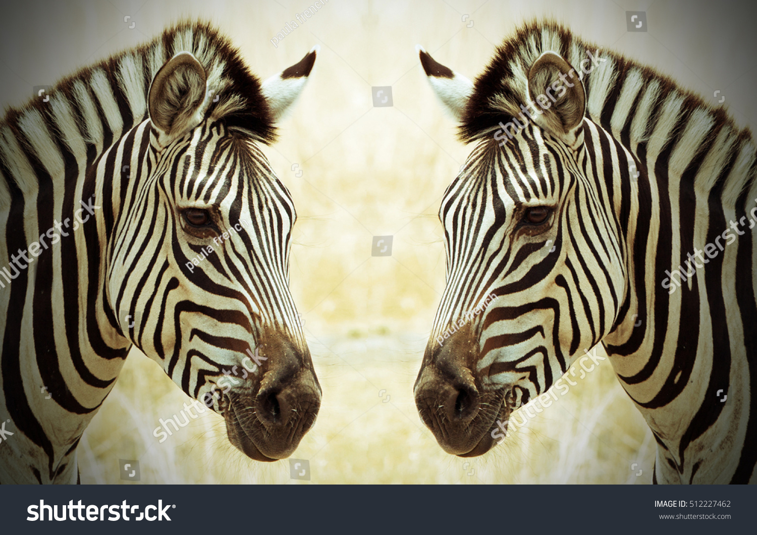 Two Burchell Zebra (Equus quagga) heads face to face - with vignetted edge
