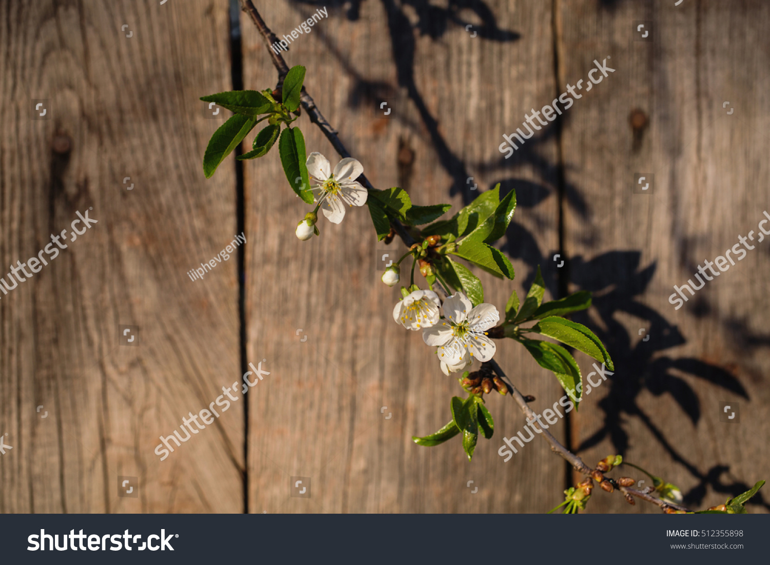 Cherry Blossom Against Background Wooden Fence Stock Photo Edit Now