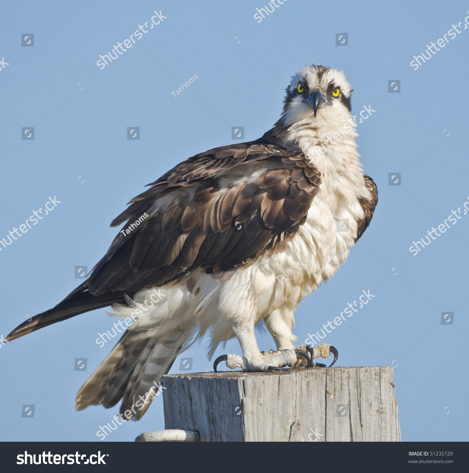 Osprey shaking, getting fluffy, ruffles his feathers after lunch. Pandion haliaetus.