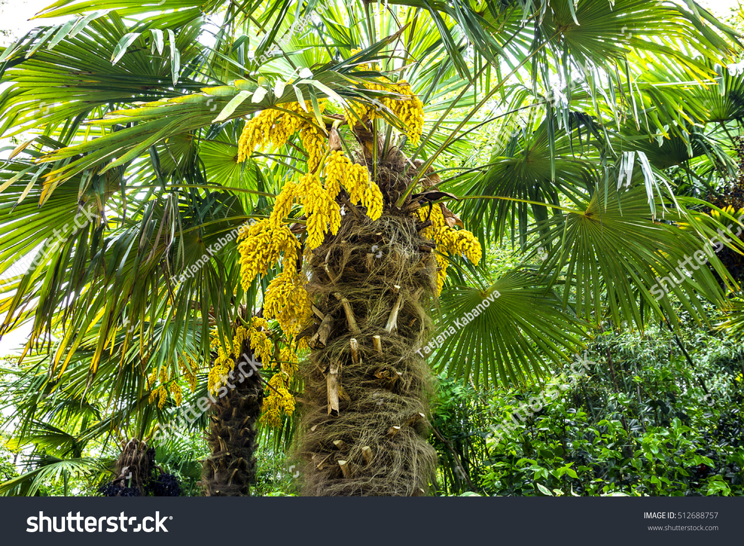 Blossoming Palm Tree Yellow Flowers Nature Stock Photo Royalty Free