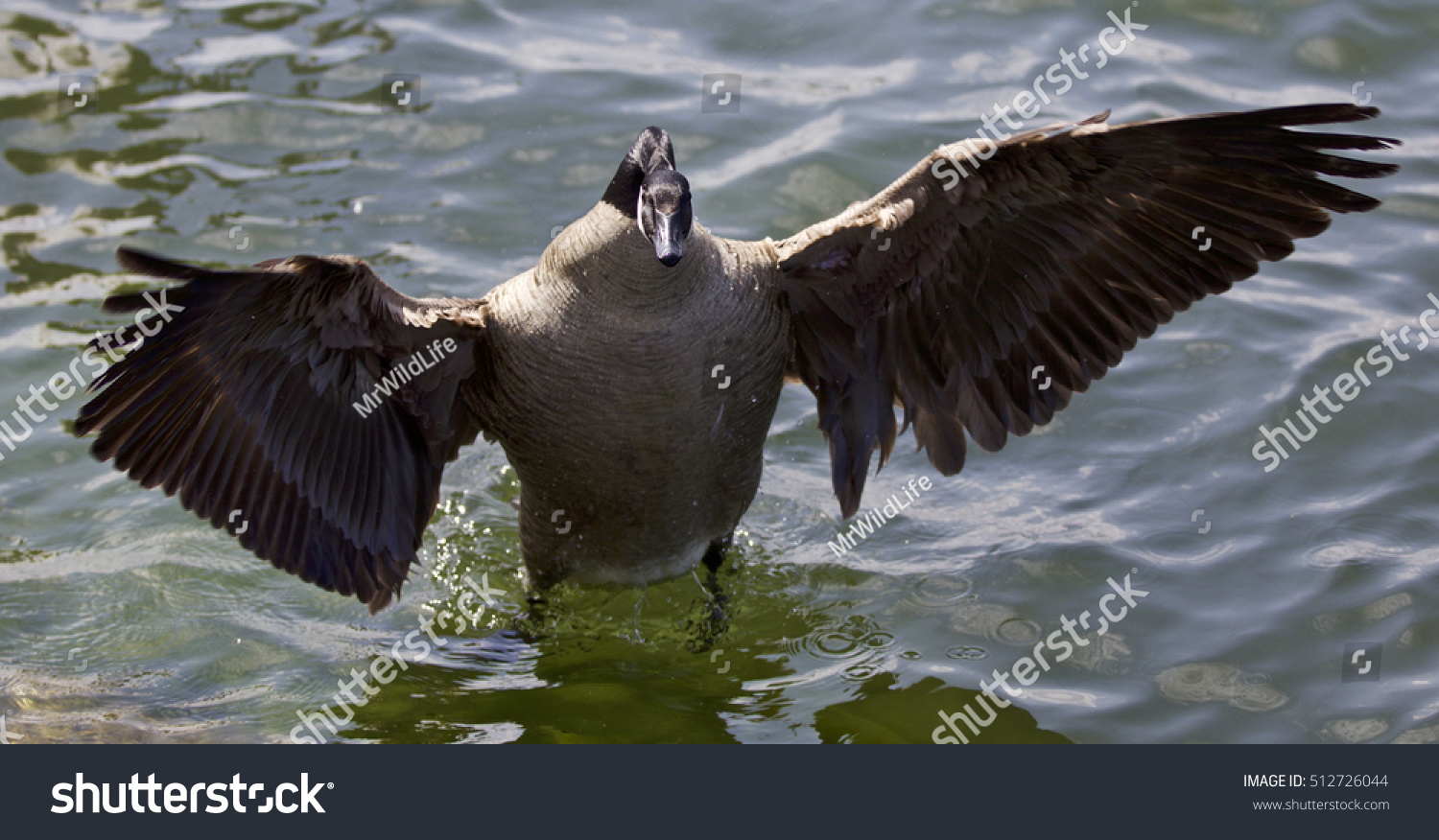 Beautiful isolated photo canada goose stock photo 512726044 beautiful isolated photo of a canada goose biocorpaavc Gallery