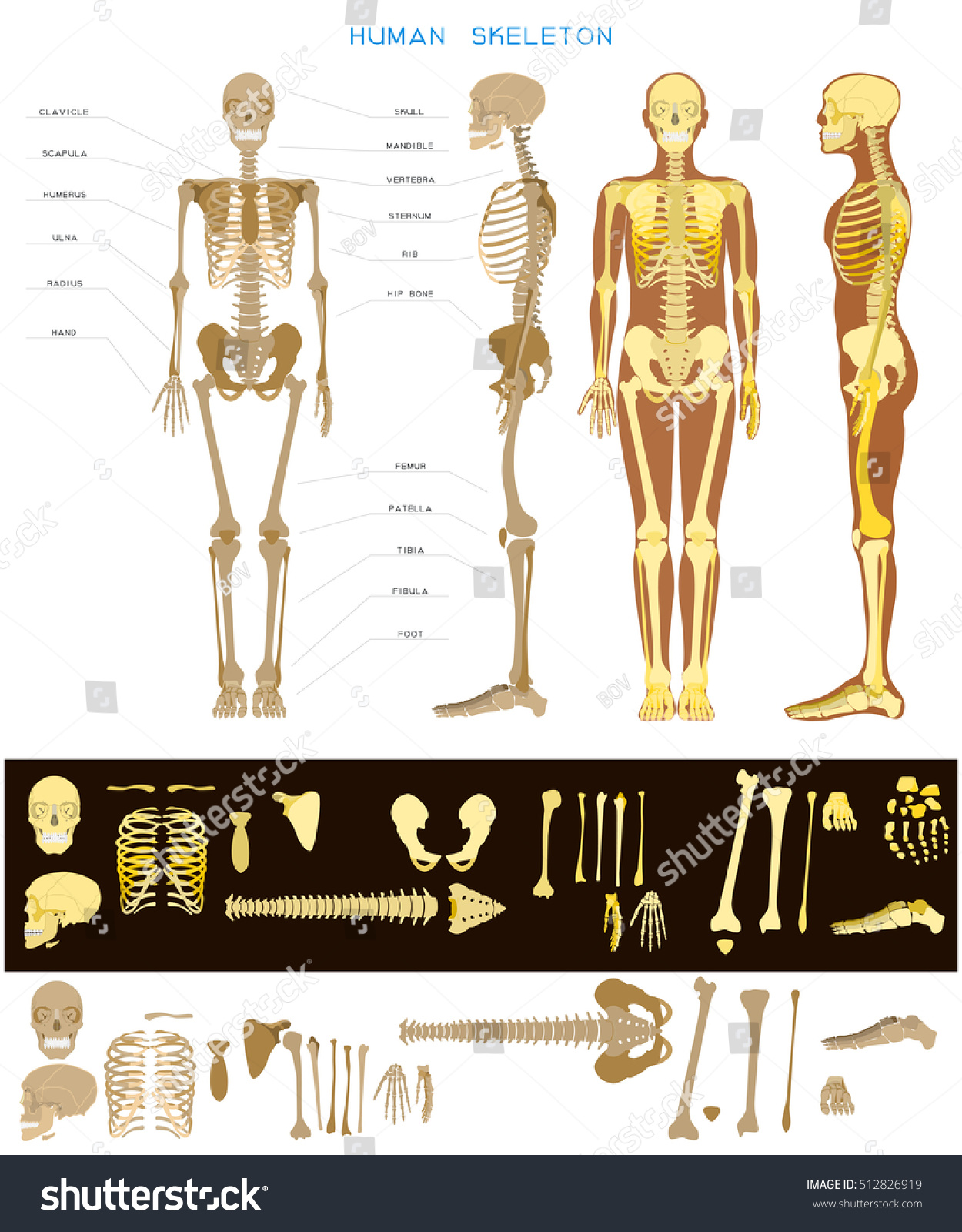 Human Anatomy Realistic Detailed Skeleton Fulllength Stock