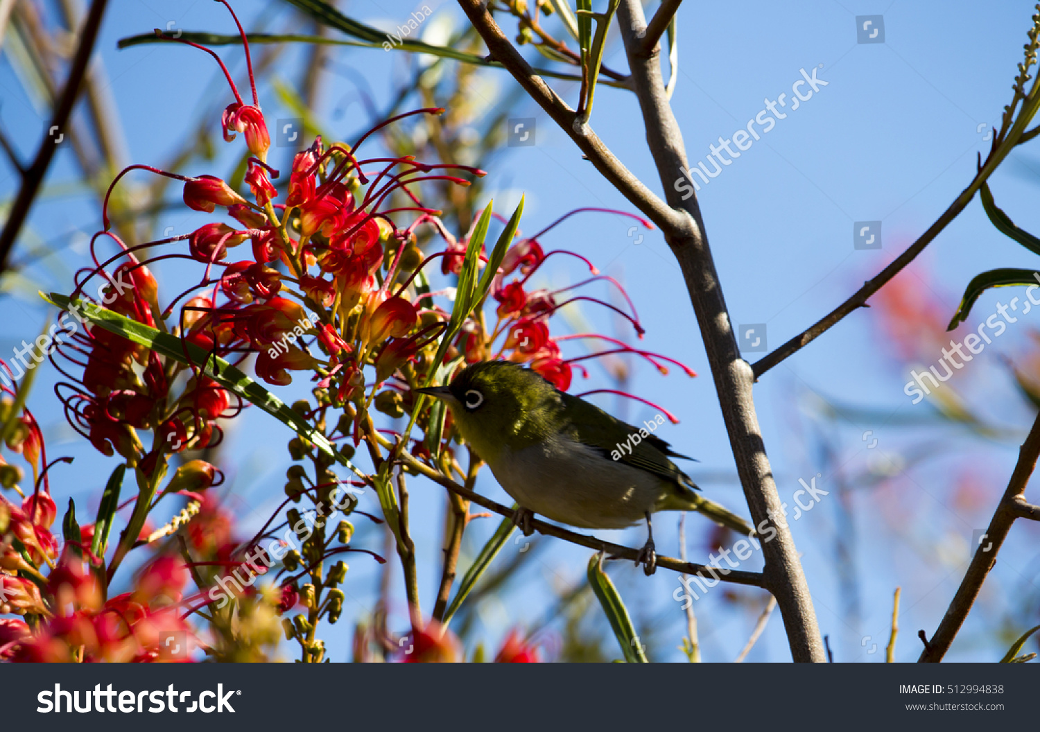 Very small silvereye waxeye zosterops lateralis stock - Olive garden early bird specials ...