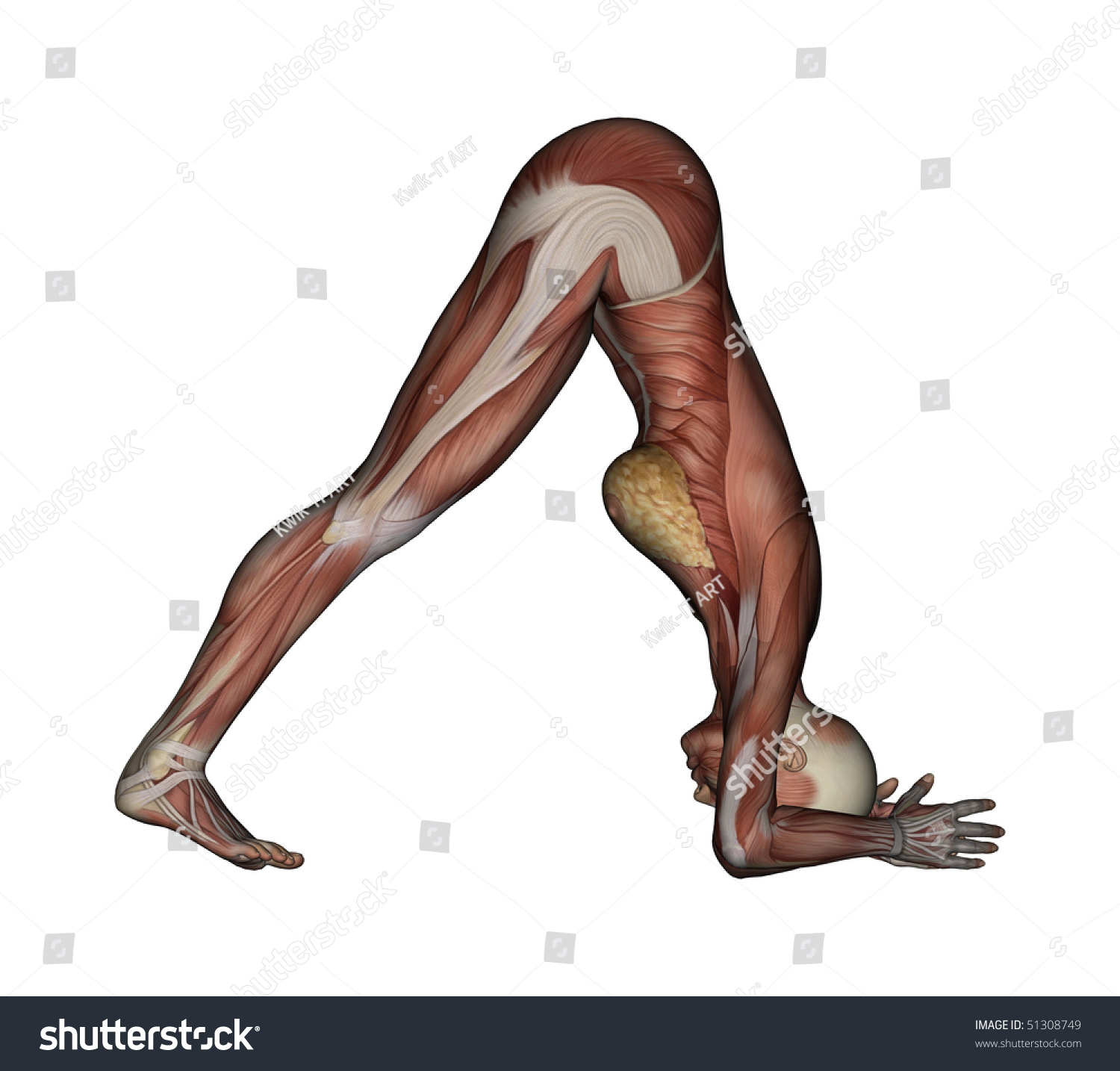 Yoga Dolphin Pose Female Muscles Side Stock Illustration 51308749 - Shutterstock-7519