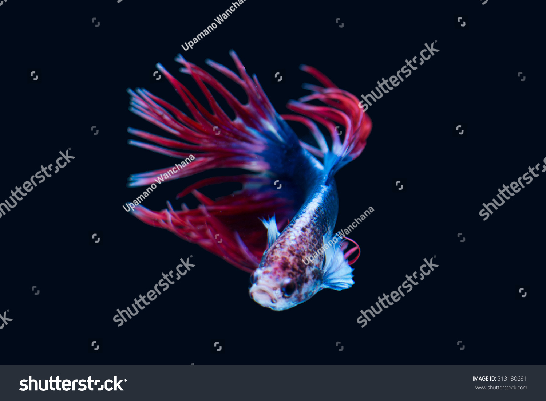 Betta Fish Closeup Colorful Dragon Fish Stock Photo (Royalty Free ...