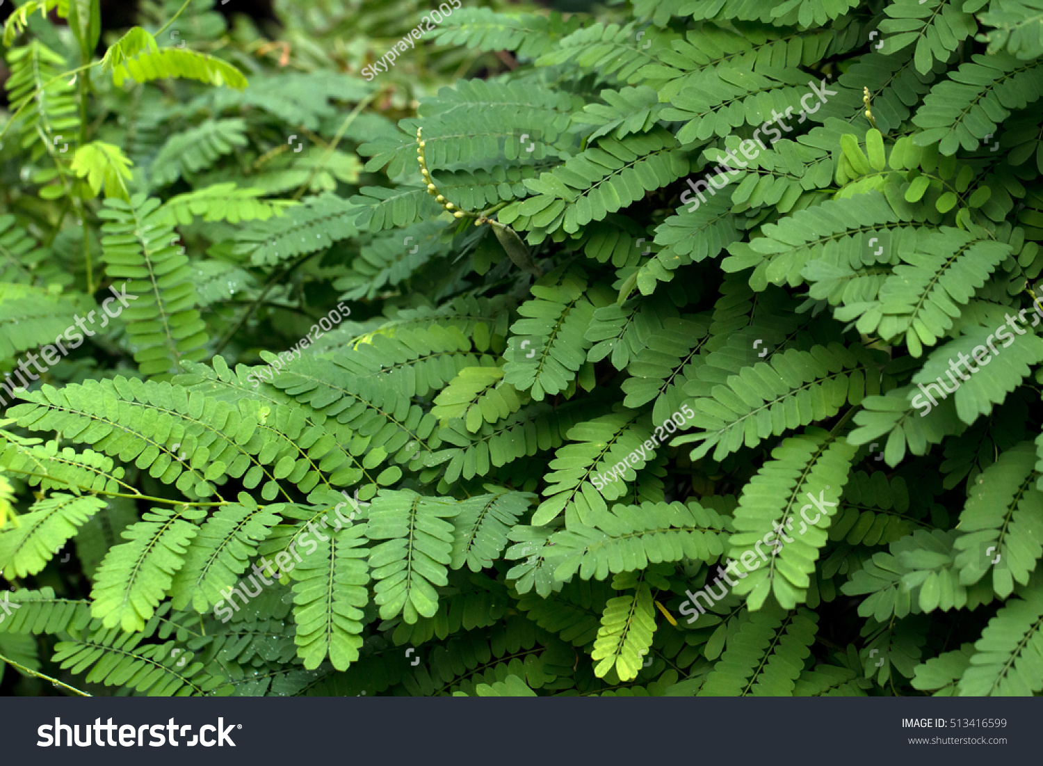 Precatorius Green Leaves Abrus Precatorius Stock Photo Edit Now