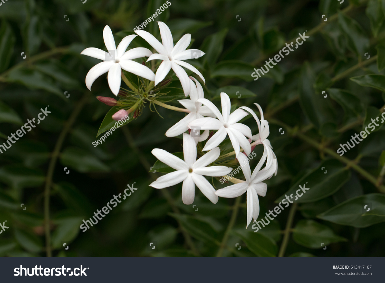 Pink jasmines white flowers bloomingjasminum polyanthum stock photo pink jasmines white flowers bloomingjasminum polyanthum stock photo 513417187 shutterstock izmirmasajfo