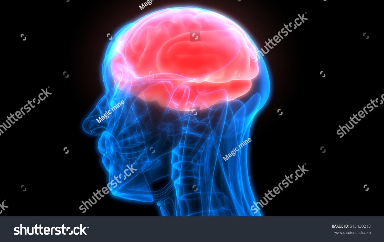Human Brain Anatomy 3 D Stock Illustration 513430213 - Shutterstock