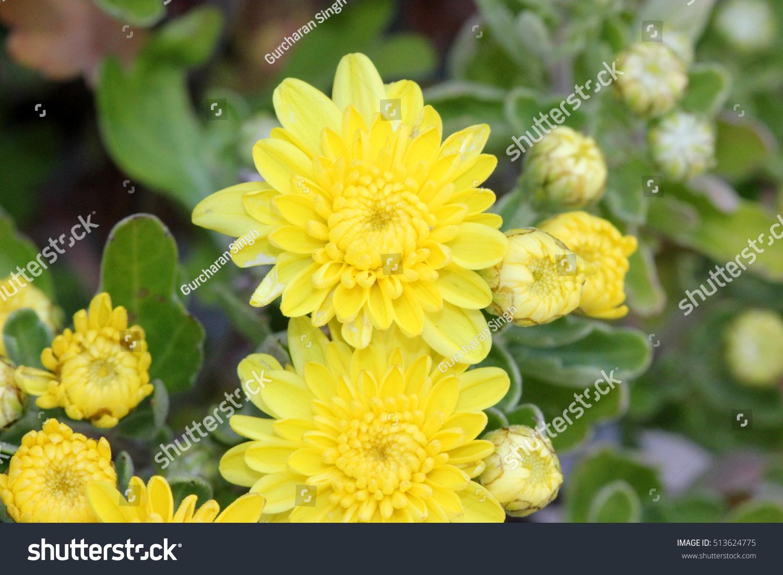 Garden Mum Yellow Chrysanthemum Morifolium Dwarf Stock Photo Edit