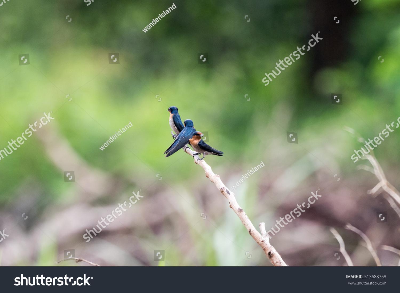 Barn Swallow In The Wild Stock Photo 513688768 : Shutterstock