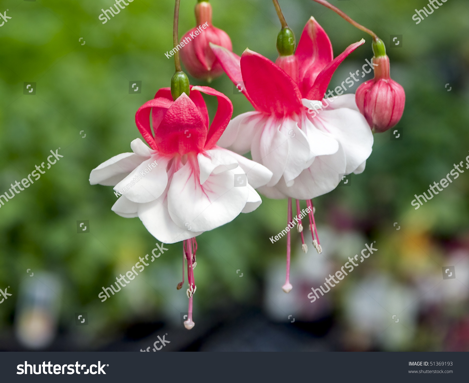 Fuchsia Flower In Red And White Stock Shutterstock