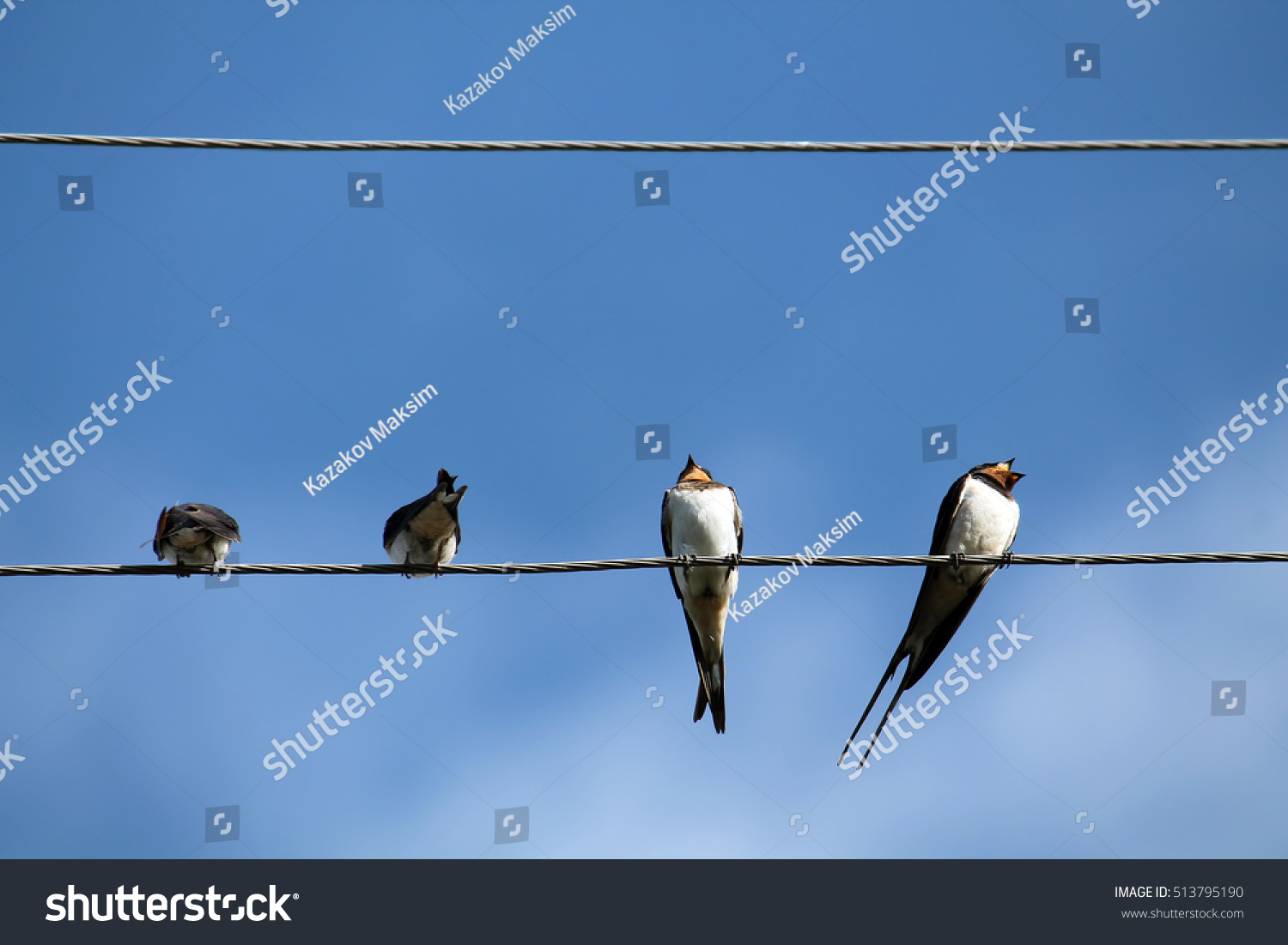 Barn Swallows On Wires Stock Photo (Edit Now) 513795190 - Shutterstock